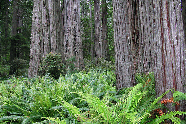 ferns & redwood trees in Redwood National Park, California