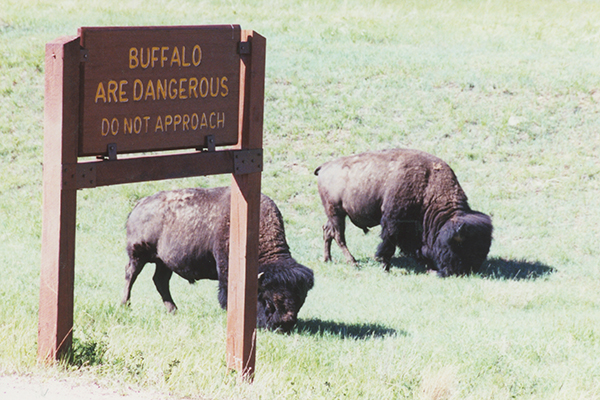 buffalo along a park road in Wind Cave National Park, South Dakota