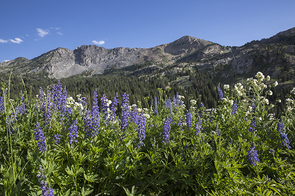 wildflowers at the Alta ski resort in July