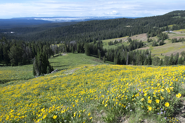 wildflowers on the side of Mount Washburn, Yellowstone National Park